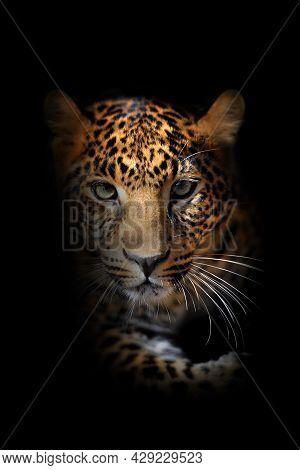 Close Leopard Portrait On Black Background