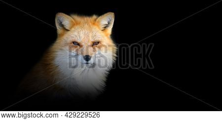 Close Up Red Fox Portrait On Black Background