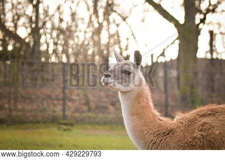 American Lama Is Staying In The Zoo Near To The Fence. They Have Place For Living.