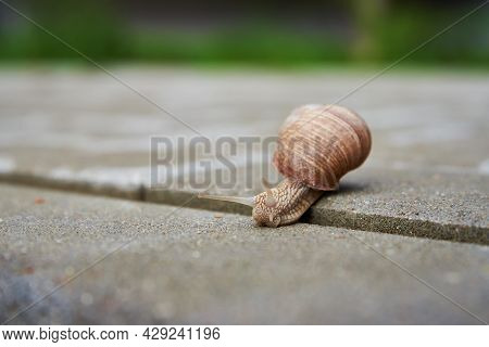 Burgundi Snail Crawling On The Asphalt Road. Big Mollusk With Shell, Close Up