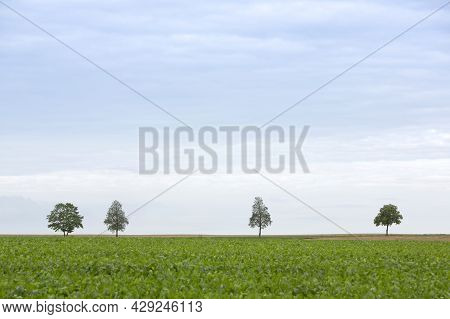 Silhouette Of Four Trees Between Fields In Vast Open Countryside Landscape Of Northern France Betwee