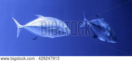 The Crevalle Jack Caranx Hippos, Also Known As The Common Jack, Black-tailed Trevally, Couvalli Jack
