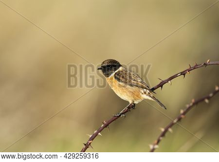 European Stonechat Perching On A Branch Against Clear Colorful Background, Uk.