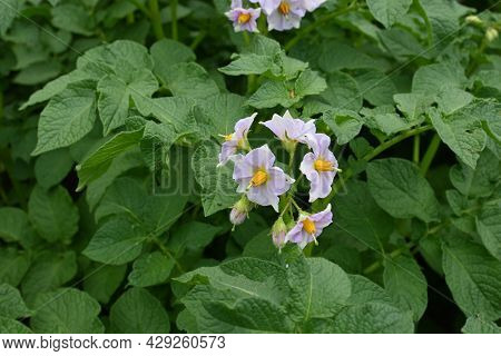 Light Violet Flowers Of Potato. Potato Plant With Flowers Closeup. Green Potato Plant With Leaves An