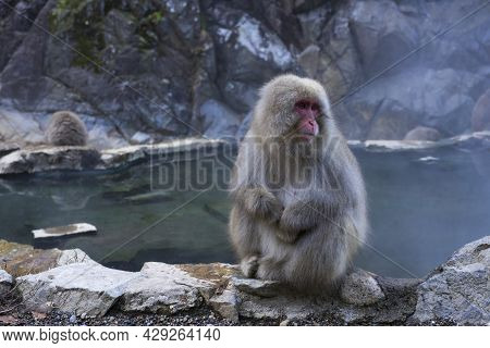 Japanese Snow Monkey Macaque In Hot Spring Onsen Jigokudan Monkey Park, Nakano, Japan.