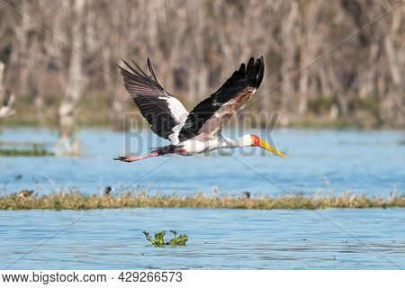 Adult yellow-billed stork, mycteria ibis, in flight over Lake Naivasha, Kenya. A resident fish eater on the lookout for movement in the shallow waters.