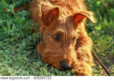 Gorgeous Beautiful Purebred Young Serious Obedient Bored Sad Puppy Hunting Dog Irish Terrier Breed L