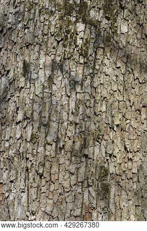 Field Maple Bark Detail - Latin Name - Acer Campestre