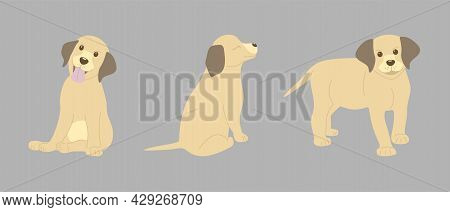 Three Labrador Puppies On A Gray Background In Different Poses. The Puppy Stands, Sits With His Tong