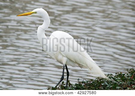 Great Egret Looking for Fish Next to Water's Edge