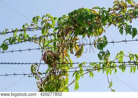 Rows Of The Modern Twisted Barbed Wire And Razor Wire Entwined With Climbing Plants Against The Clea