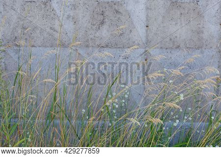 Wild Growing Grass With Dry Ears And Grass With Small White Flowers On A Background Of The Concrete