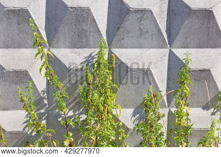 Tall Stems Of The Flowering Common Stinging Nettle Against The Figured Concrete Fence In Summer Day