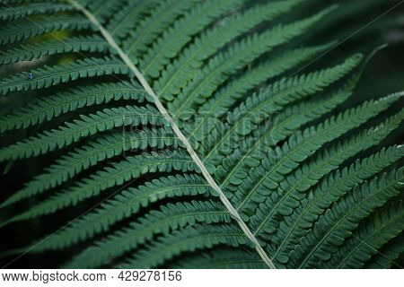 Beautiful Background Of Young Green Fern Leaves. Beautiful Ferns Leaves Of Green Foliage. Large Fern