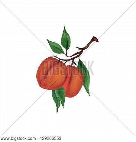 Branch With Peach, Apricot, Nectarine And Green Leaves Isolated On White Background. Beautiful Water