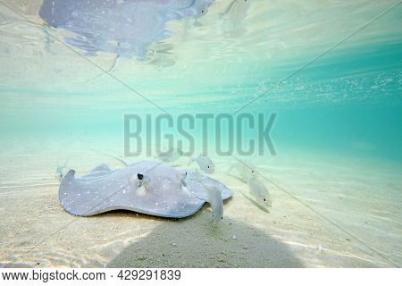 Stingray Swimming In Shallow Water. Sun Island (nalaguraidhoo), South Ari Atoll, Maldives