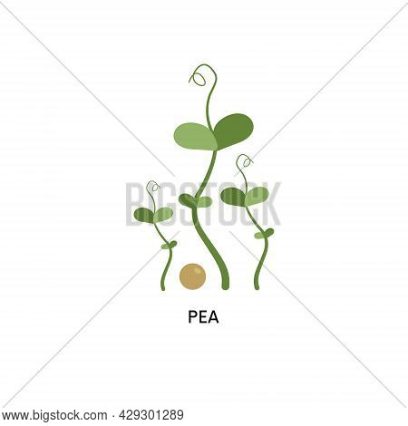 Pea Microgreens And Seed Vector Illustration. Superfood, Home Gardening, Greens. Can Be Used For Top