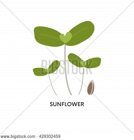 Sunflower Microgreens And Seed Vector Illustration. Superfood, Home Gardening, Greens. Can Be Used F