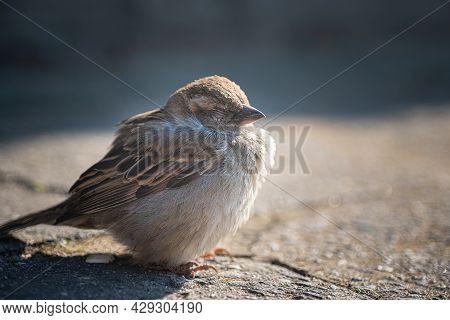 Close Up View On Cute Sleeping Sparrow Bird On Street.