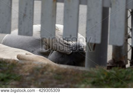Elephant Seals At The Shore Of Point Reyes National Seashore, Basking In The Sun, Close-up On The Wh