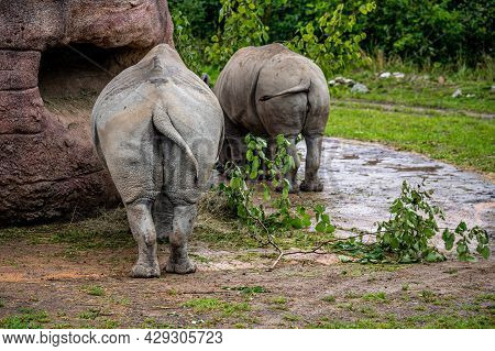 Two White Rhinoceros Eating Leaves. Square-lipped Rhinoceros. Ceratotherium Simum. Rear View Of Butt