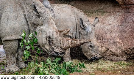 Two White Rhinoceros Grazing. Square-lipped Rhinoceros. Ceratotherium Simum. Portrait Of Mother And