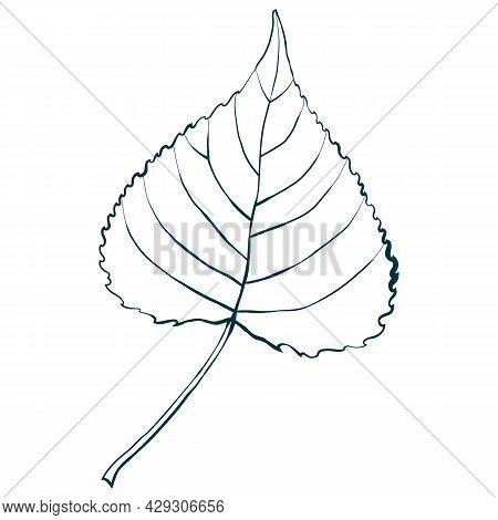 Sketched Aspen Leaf Isolated On White Background. Vector Illustration.