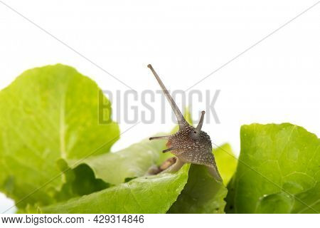 Snail eating salad isolated over white background