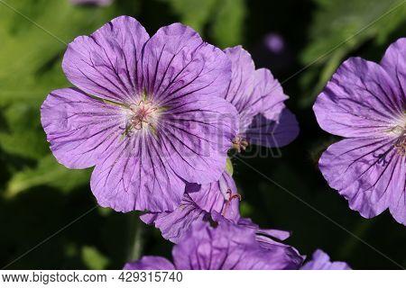 Purple Hybrid Cranesbill, Geranium X Magnificum Clone C, Flower In Close Up With A Background Of Blu