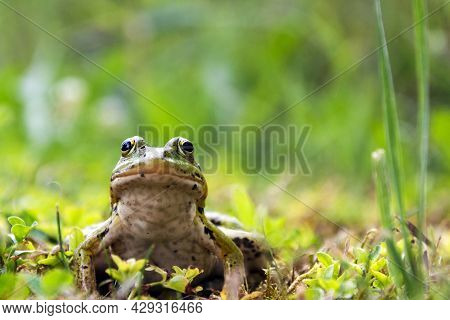 Green Frog Sitting In The Grass, Toad On The Green Grass, Slippery Cold Frog In Nature, Warts On The