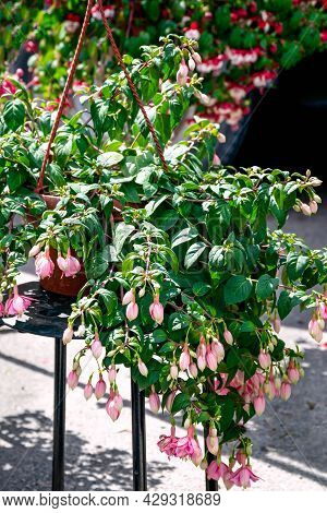 A Flower Pot With Pink Fuchsia Is For Sale On The Market.