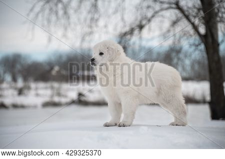 Polish Tatra Sheepdog Stay On Snow In The Winter. Image Taken Outdoor.