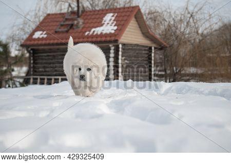 Polish Tatra Sheepdog Walking On Snow In The Winter Near House.