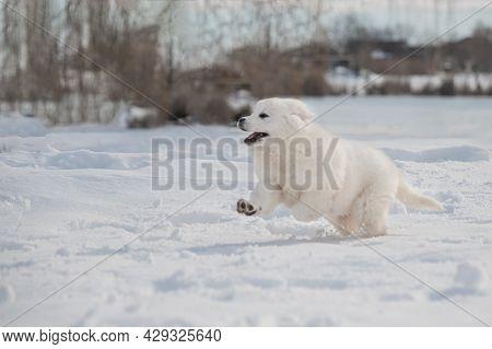 Funny Polish Tatra Sheepdog Run On White Snow In The Winter.
