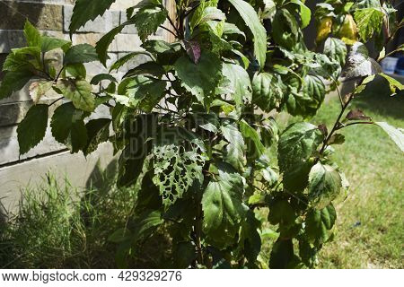 Hibiscus Plant Leaves Fresh But Single One Leaf Harmed And Damaged By Bugs Who Eat Leaves And Creat