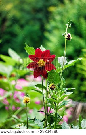 Red Dahlia Or Dahlia Coccinea Flower Grown In A Garden, A Species Of Flowering Plant In The Daisy Fa