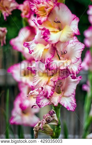 Vertical Image Showing Close Up Macro Of Gladiolus `priscilla` Cultivar To The Right With Dark Green