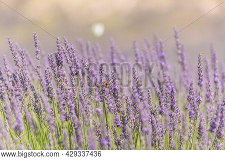 Lavender Fields In Bloom In Provence.