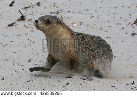 Seal Pup Running Along The Beach On Kangaroo Island