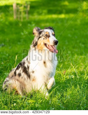 Obedience Training. Full Length Of Curious Spotted Australian Shepherd Dog Sitting In Green Grass, L
