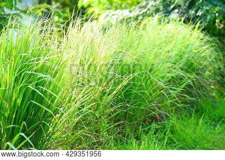 Fresh Lemon Grass Tree Herbal Plant Green Leaf Background, For Ingredients Thai Food Cooking Vegetab
