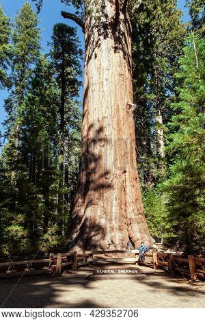 America. Sequoia Park in California, USA. Happy woman tourist is photographed at the foot of the great tree. The largest, tallest and most famous sequoia named after General Sherman