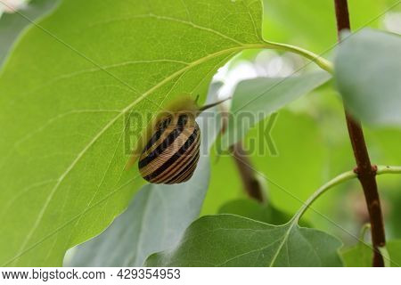 Striped Single Snail On A Green Leaf After Rain In The Summer Forest. Close-up