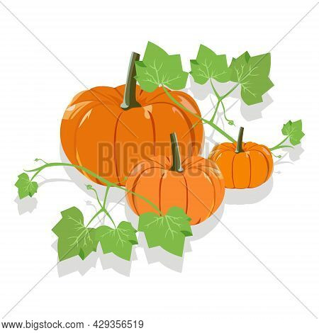 Vector Illustration Of Orange Pumpkin Plant On The White Background. Orange Pumpkin With Leaves. Wal