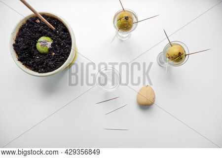Avocado Seeds Are Planted In Glass Cups With Water And A Pot With Earth In Close-up. Growing Avocado