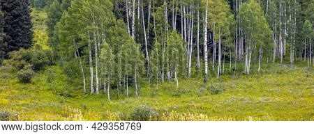 Panoramic view of Aspen tree forest in Colorado countryside