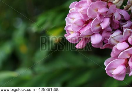Close-up Of Pink And Purple Acacia Flowers On The Green Blurred Background. Acacia Tree In Bloom