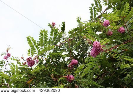 Pink And Purple Acacia Flowers On The Sky Background. Acacia Tree In Bloom. Copy Space