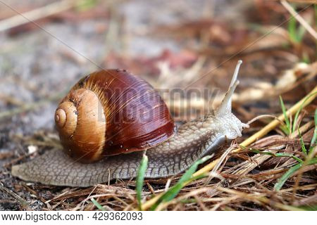 Snail Moving On The Wet Ground After Rain In The Summer Forest.