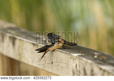 The Barn Swallow (hirundo Rustica), Young After Leaving The Nest.